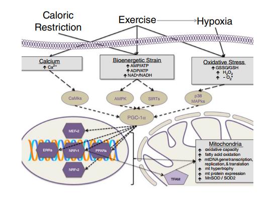 adaptación mitocondrial HIIT